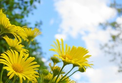 Doronicum orientale yellow flower close up on blue sky with clouds background. Also known as leopard's bane flowers.