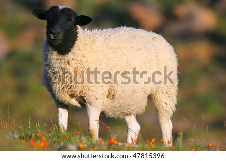 stock photo   dorper sheep in