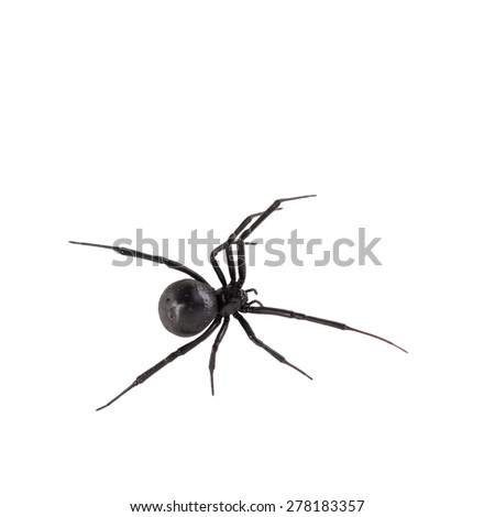 Dorsal bird\'s eye view of female black widow spider, isolated on white.