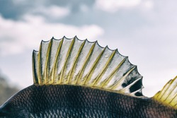Dorsal fin of a perch, back light, toned image