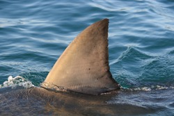 dorsal fin of great white shark, Carcharodon carcharias, Mossel Bay, South Africa, Indian Ocean