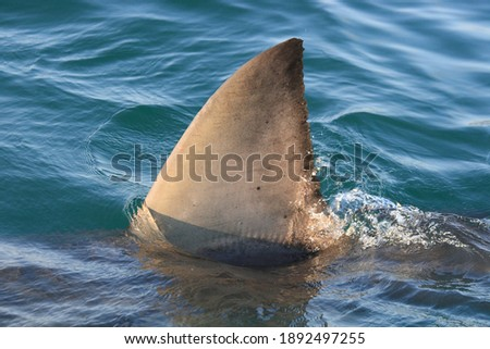 dorsal fin of great white shark, Carcharodon carcharias, off Mossel Bay, South Africa ストックフォト ©