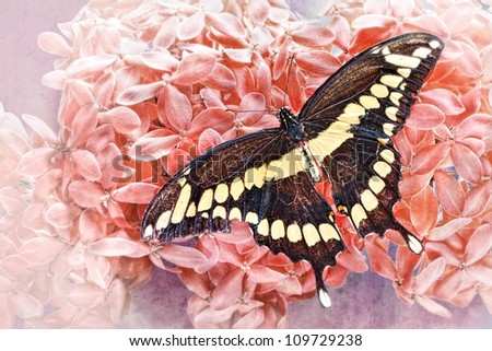 Dorsal view close up of a Giant Swallowtail  Butterfly  (Papilio Cresphontes)resting on a  pink Hydrangea flower on a grungy textured background