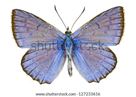 Dorsal view of Polyommatus daphnis  butterfly isolated on white background.