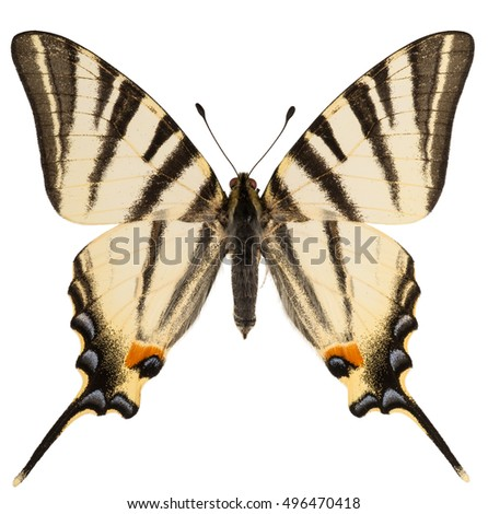 Dorsal view of scarce swallowtail (Iphiclides podalirius) isolated on white
