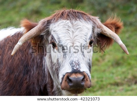 Dorset Longhorn steer, one of many variants of longhorn cattle