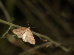 Dotted Border moth ( Agriopis marginaria ) in the family Geometridae.