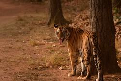 Dotty the tigress while doing Flehmen's response to check presence of other tigers and later she did scent marking at Bandhavgarh National Park