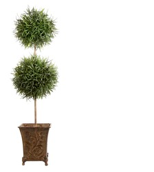 Double ball topiary isololated on white background