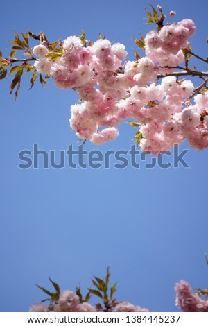 double blossoms of cherry blossoms in Japan