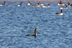 Double-crested cormorant on the lake