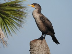 Double crested cormorant perched on a palm