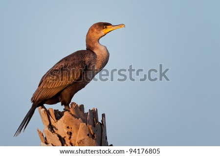 Double-crested cormorant perched on palm tree