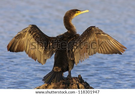 Double-crested Cormorant spreading it's wings to dry