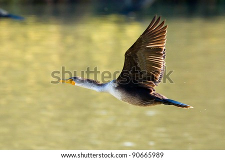 Double-crested Cormorant.  The Double-crested Cormorant (Phalacrocorax auritus) is a member of the cormorant family of seabirds.