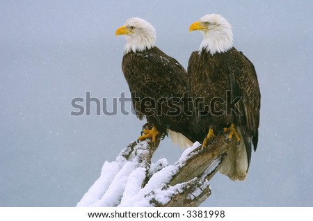 double eagles perched in snowstorm