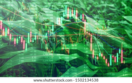 Double exposure Corn crop field season, stock trading technical price chart with volatility. Agricultural and commodities e-commerce online trading, food wholesale, future trading market concept