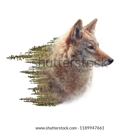 Double exposure of coyote portrait and pine forest on white background