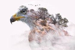 Double exposure of white and brown eagle and trees on mountain surrounded by fog.