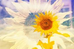 double exposure of yellow sunflowers
