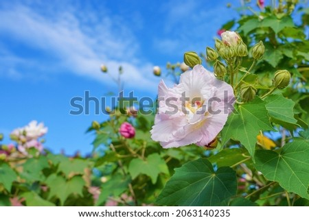 Double flowered Confederate Rose (Fuyo) in full bloom that shines in the light Foto stock ©