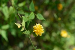 Double-flowered Japanese rose - Latin name - Kerria japonica Pleniflora