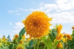Double-flowered sunflower flower in bloom at Hiroshima, Japan