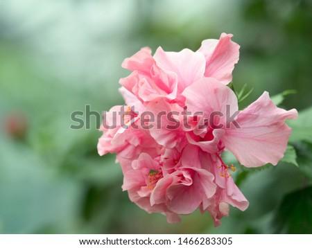 Double flowering pink hibiscus flower