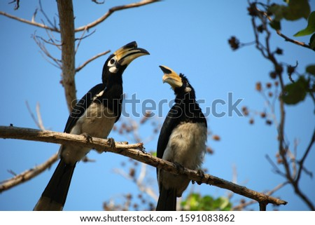 Double hornbill (Bucerotidae) on a branch with blue sky and branches in the background