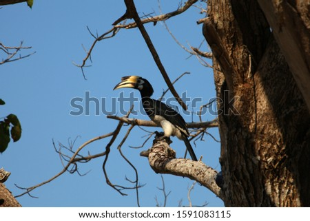 Double hornbill (Bucerotidae) pairs on a branch with blue sky and branches in the background