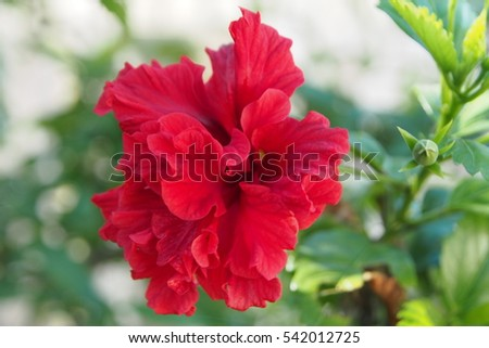 Double Bloom Red Hibiscus Flower Images And Stock Photos Page 5