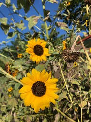 double sunflower ubatuba santa catarina