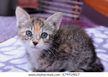 DOUBLE TABBY KITTEN #679914817