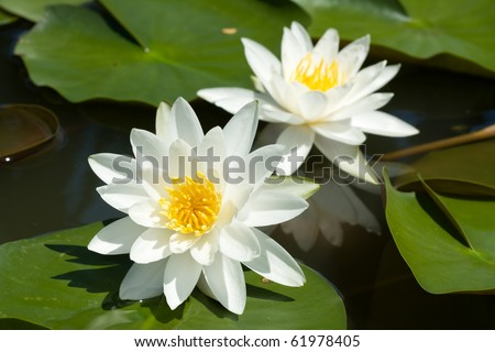 Double white lilly water in the lake