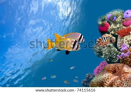 Doublebar bream (acanthopagrus bifasciatus) , Red Sea, Egypt