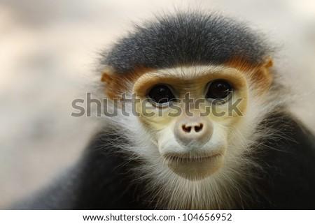 Douc Langur monkey close up