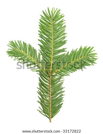 Douglas Fir Branch isolated - stock photo