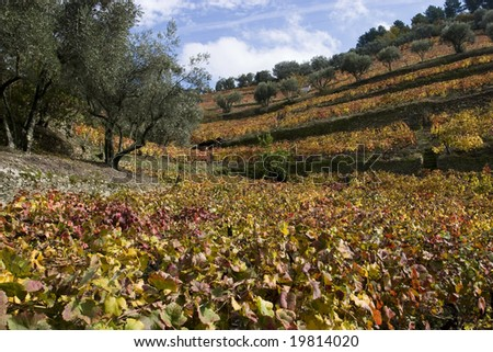 Douro vineyards in Autumn