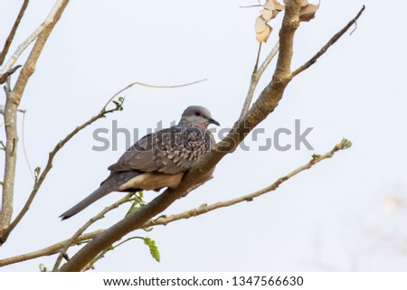 Dove bird Sitting on the Tree Branch in its Natural Habitat