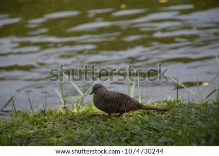 Dove ,Dove and river,Dove on the grass. #1074730244