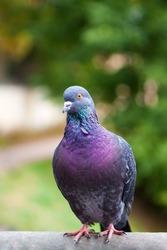 Dove grey. Beautiful pigeon close up. City birds.