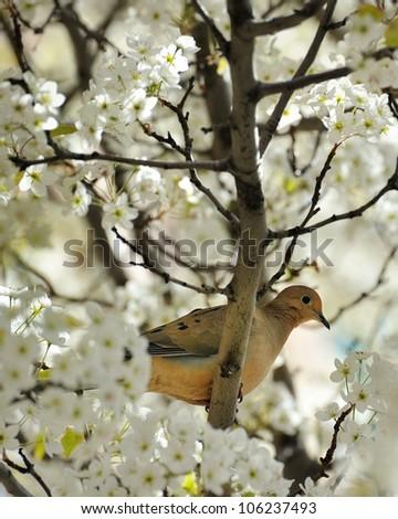 Dove in a blossoming Cherry Tree Traverse City Michigan USA