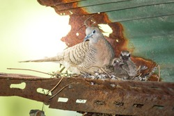 Dove is raising chick in the nest under the roof.