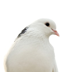 dove isolated on a white background