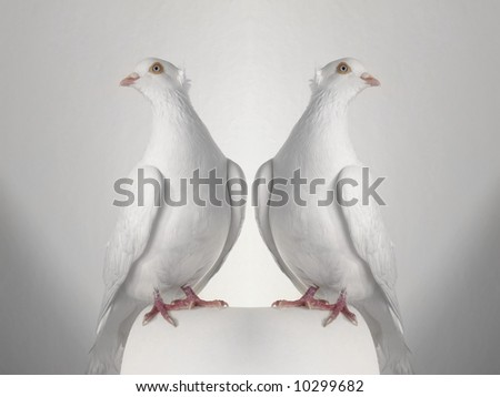 dove on a white background