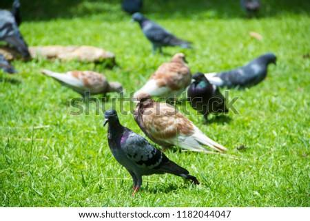 Dove on grass, Dove in the garden, Dove in the lawn. #1182044047