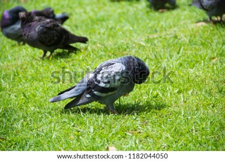 Dove on grass, Dove in the garden, Dove in the lawn. #1182044050