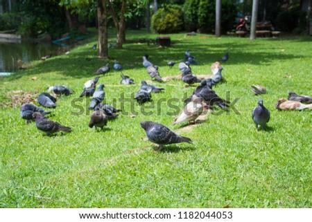 Dove on grass, Dove in the garden, Dove in the lawn. #1182044053