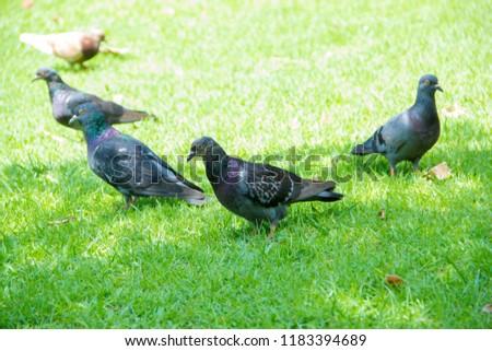 Dove on grass, Dove in the garden, Dove in the lawn. #1183394689