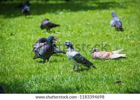 Dove on grass, Dove in the garden, Dove in the lawn. #1183394698